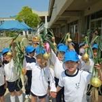 幼稚園の畑で育てた玉ねぎの収穫